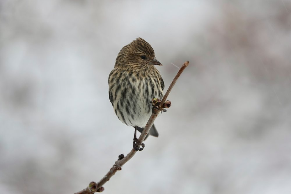 Pine siskins, like many northern finches, have a fondness for salt and are seenon winter highways on which salt had been applied.