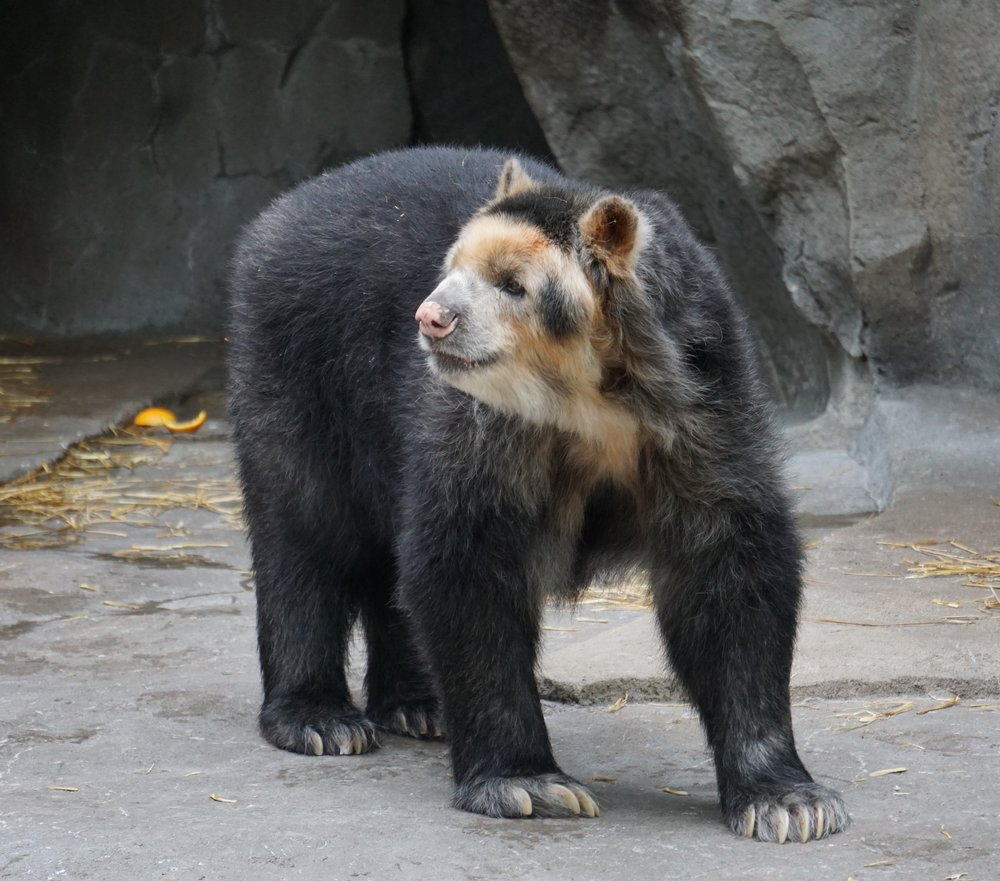 An Andean bear at Omaha's Henry Doorly Zoo.