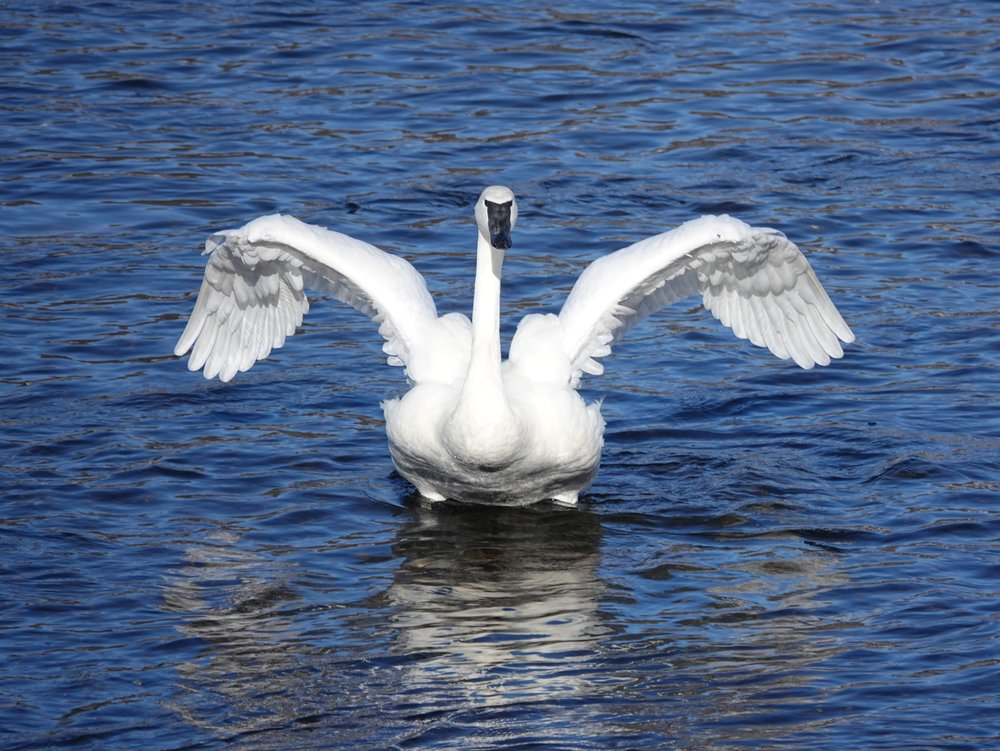 A trumpeter swan acting all triumphant.