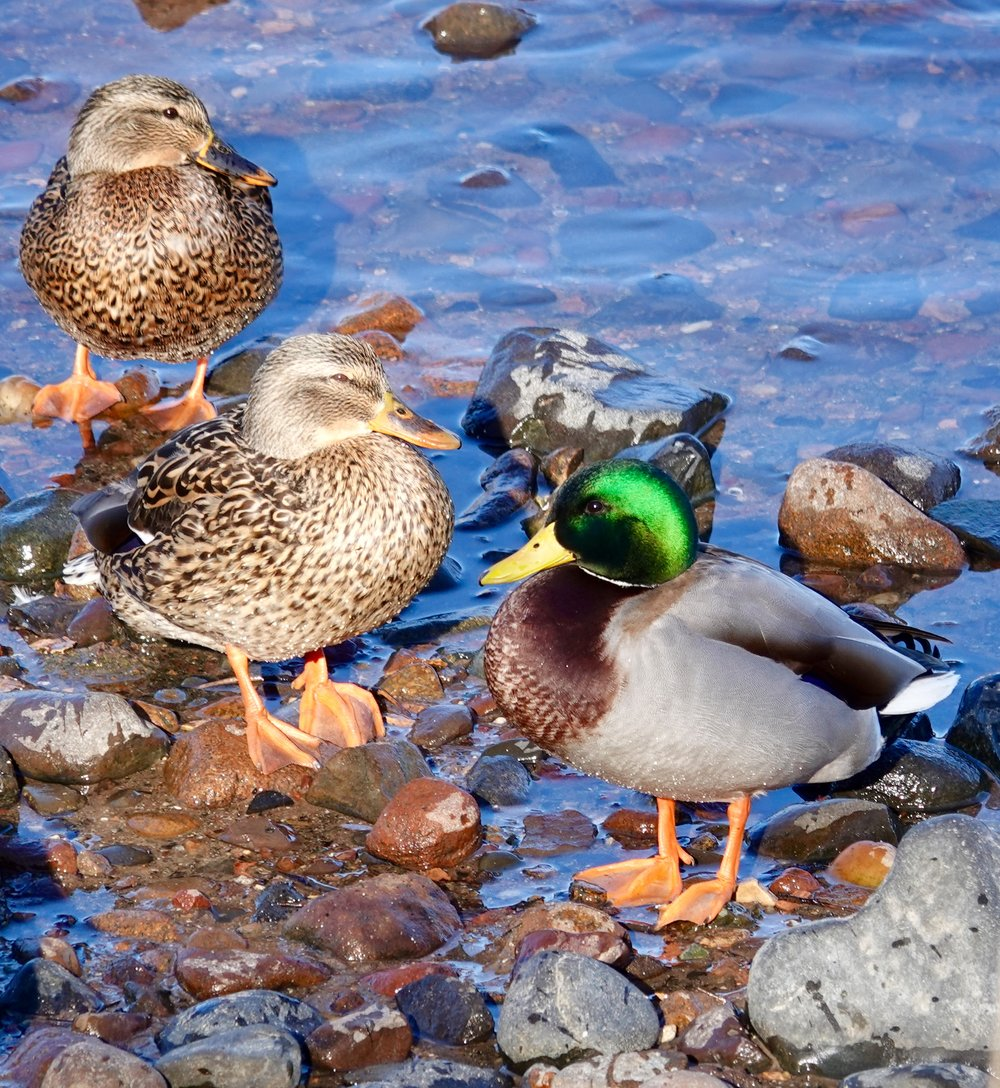 And in today's views: mallards.