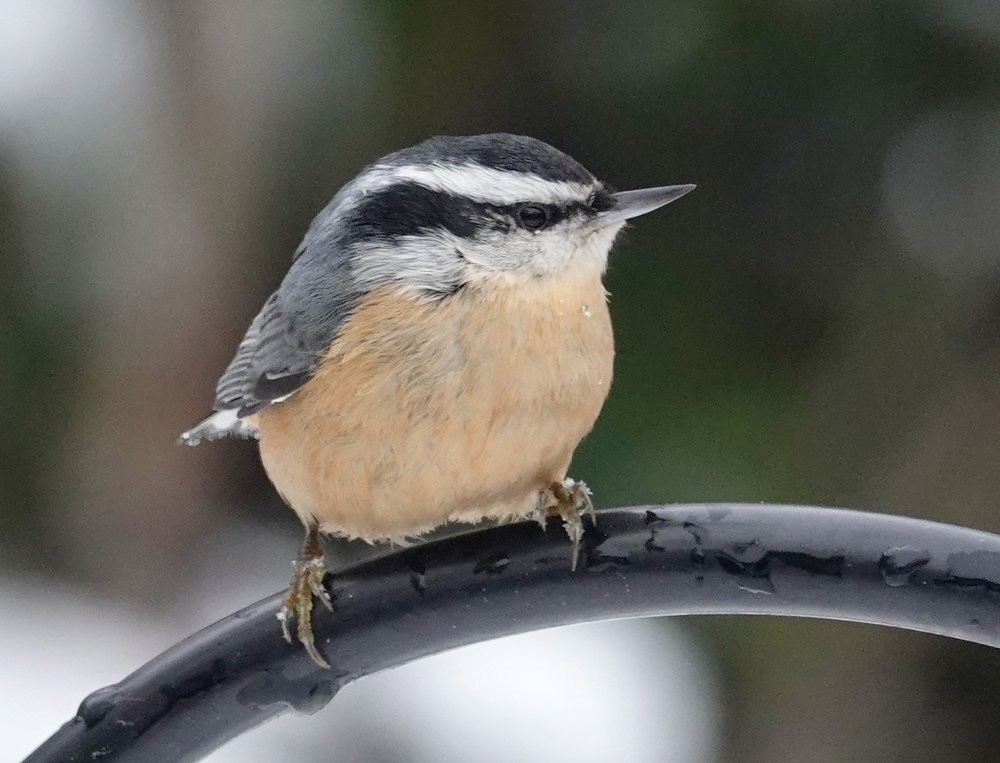 It's a beautiful day in the neighborhood when a red-breasted nuthatch moves in.
