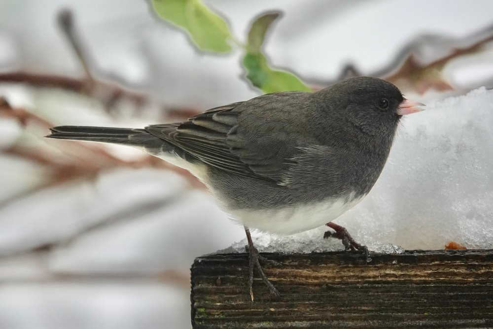 And in today's views: a snowbird (dark-eyed junco).