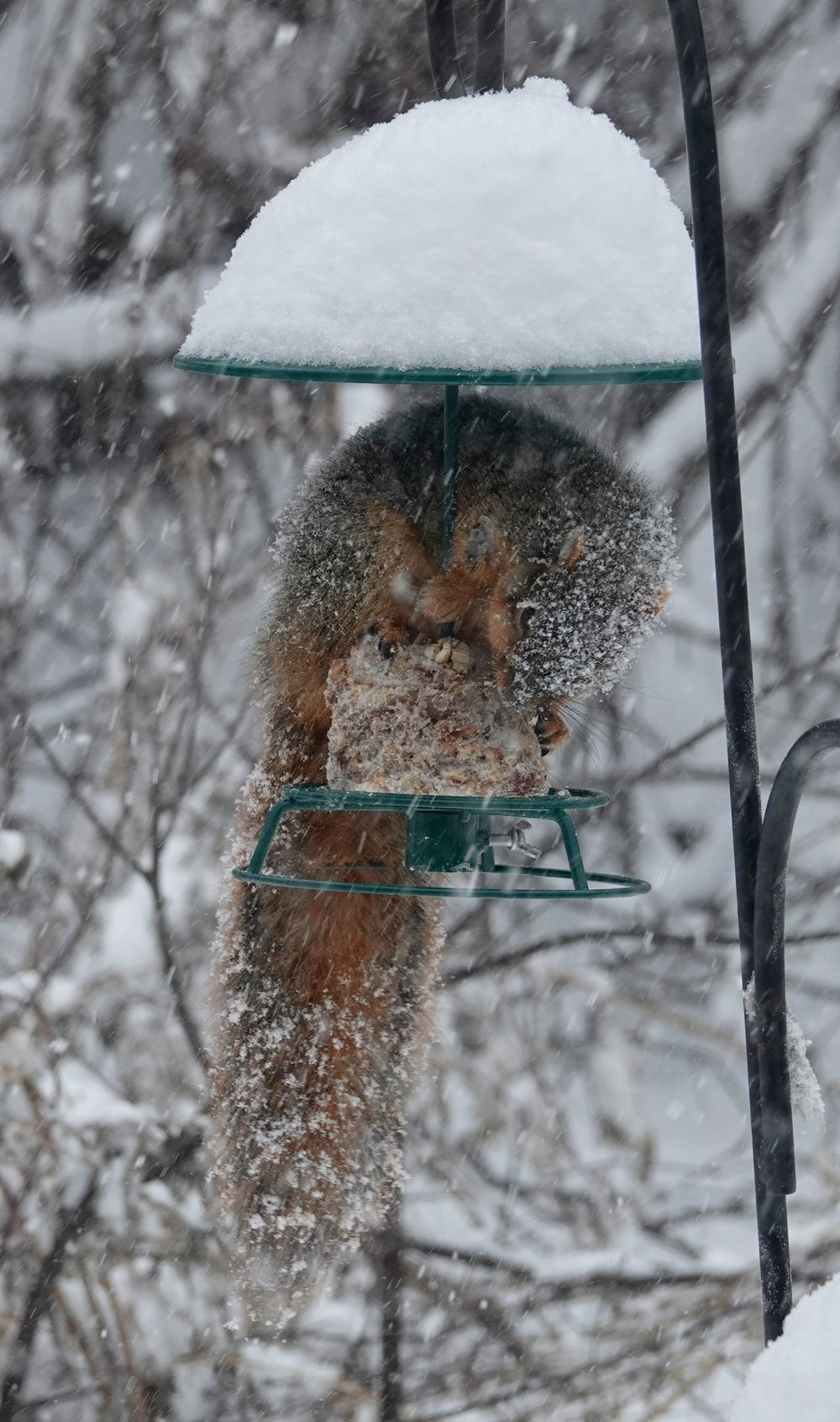 A fox squirrel disguised as snow.