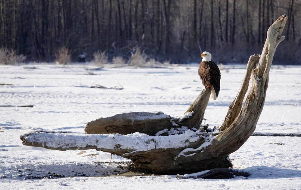 And in today's views: a bald eagle grasping driftwood.