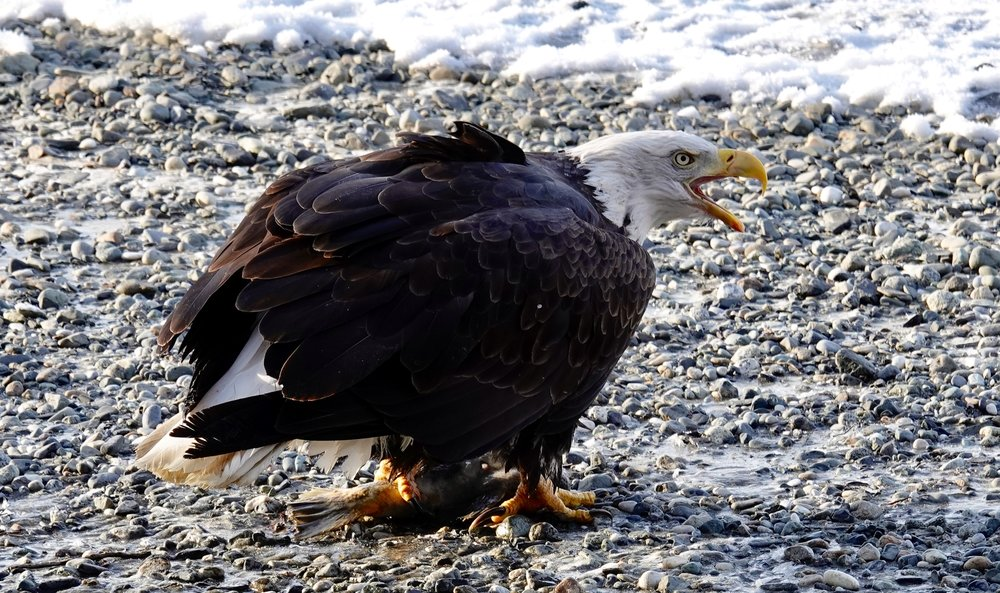 And in today's views: a bald eagle.