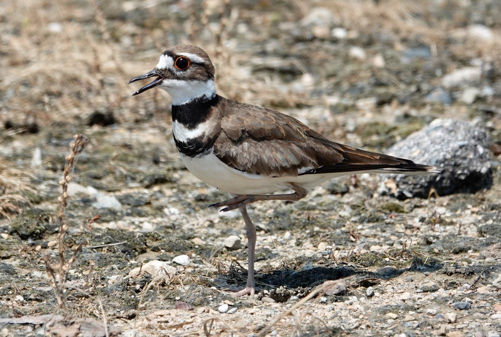 "We don't see killdeer in Minnesota when it's 32 degrees below zero, but a friend considers them to be the true sign of spring. ""A killdeer doesn't lie,"" he says."