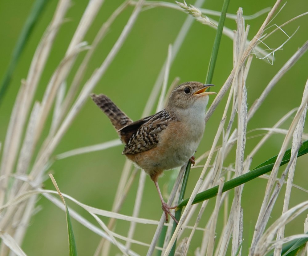 And in today's views: a sedge wren.