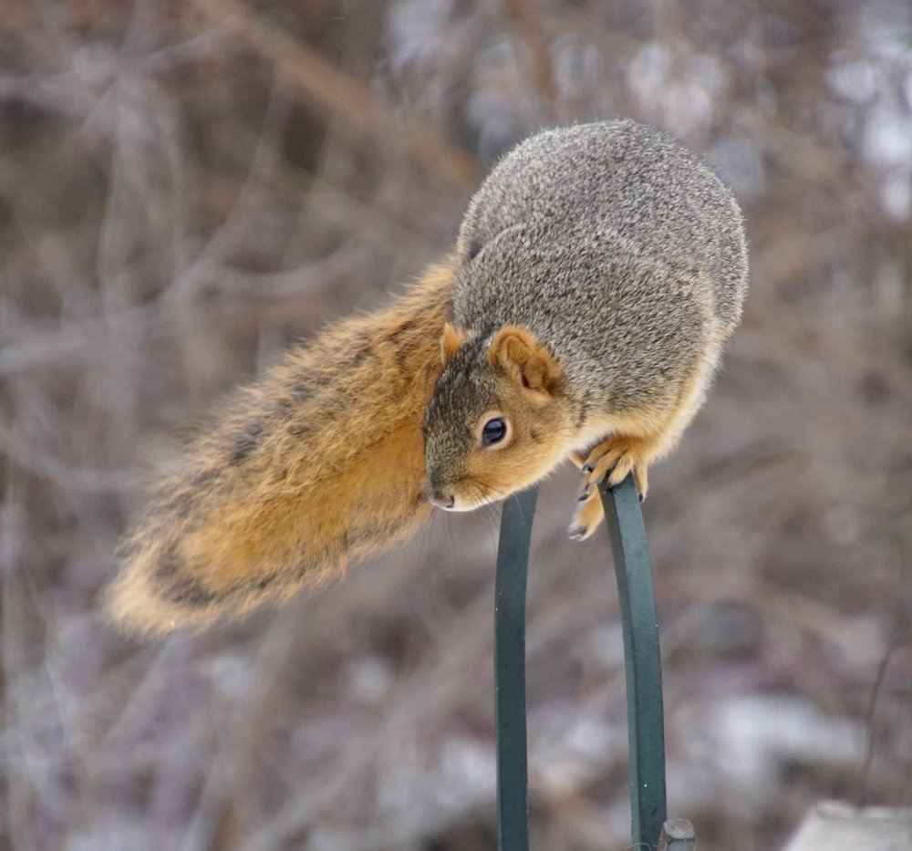 This squirrel is headed to Atlanta. It heard that there will be a lot of nuts at the Super Bowl.
