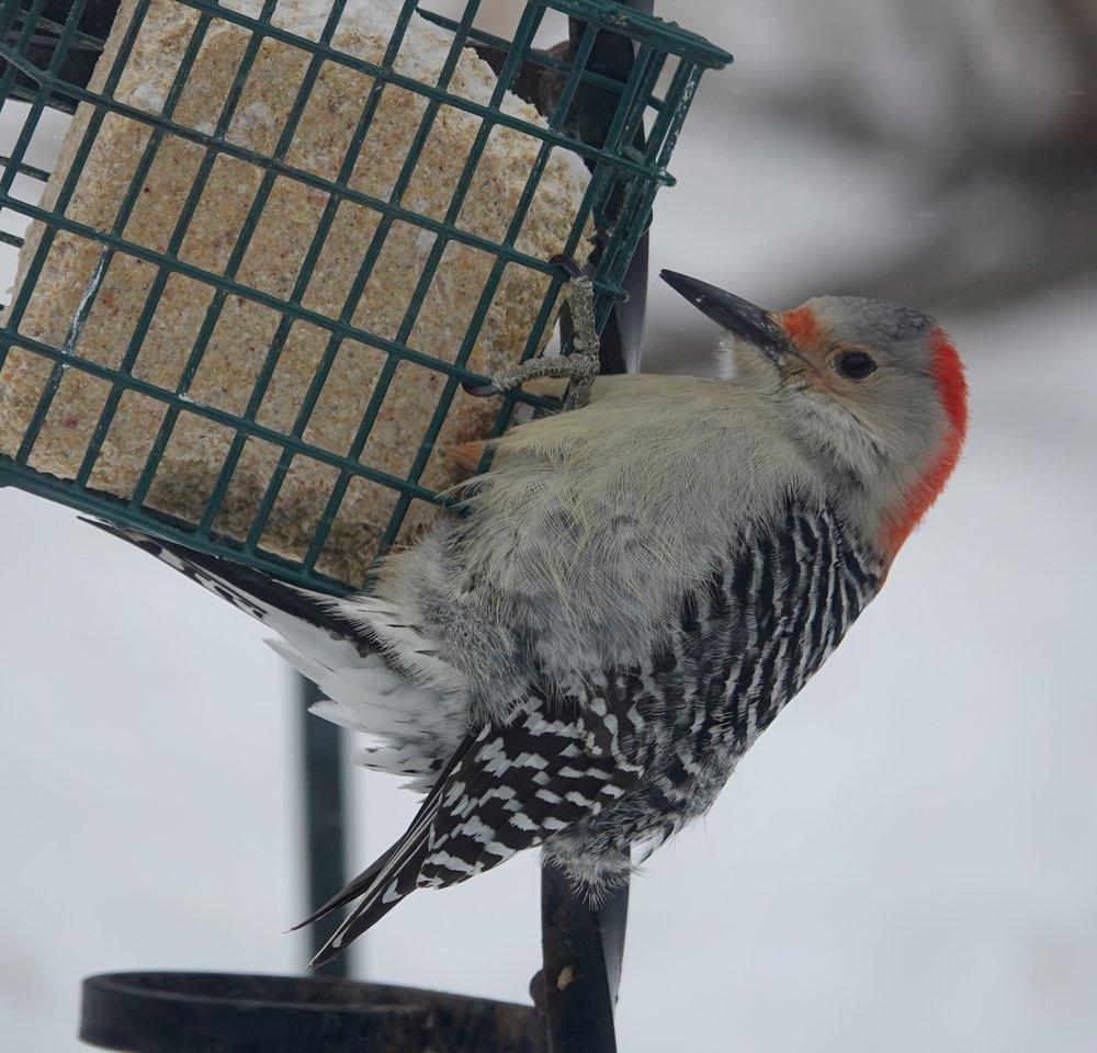 When a woodpecker hangs around the suet, it hangs around the suet.
