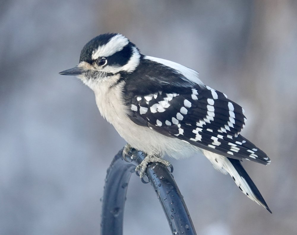 The female downy woodpecker forages in inferior winter hunting grounds as the male claims the prime natural locations.