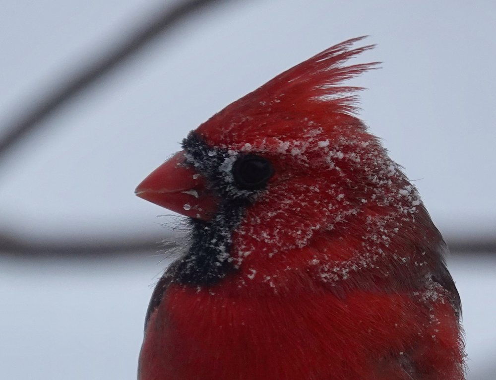 This cardinal just heard the weather report.