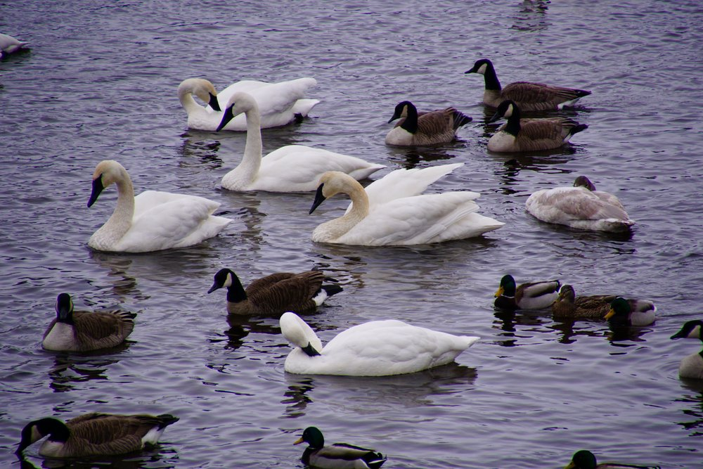And in today's views: trumpeter swans.