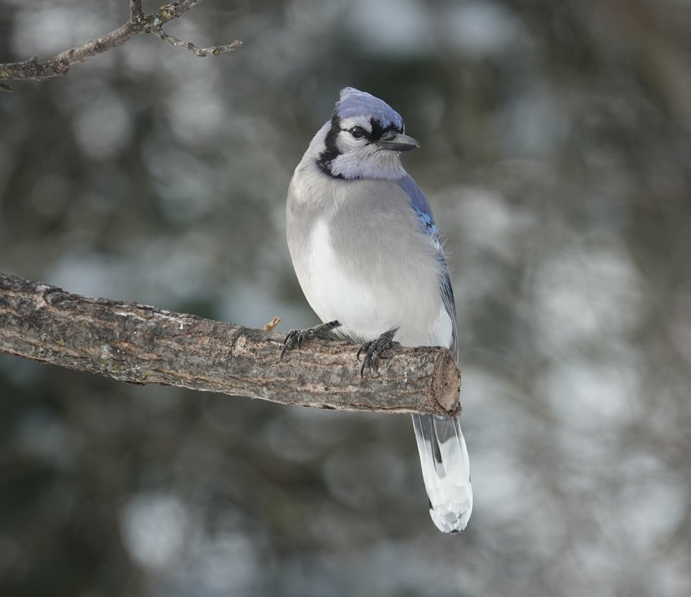 A blue jay misses the cut.