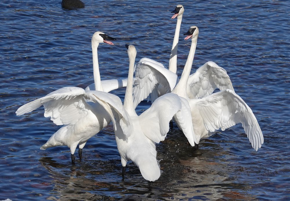 The Minnesota Chapter of the Appreciation of Trumpeter Swans meets.