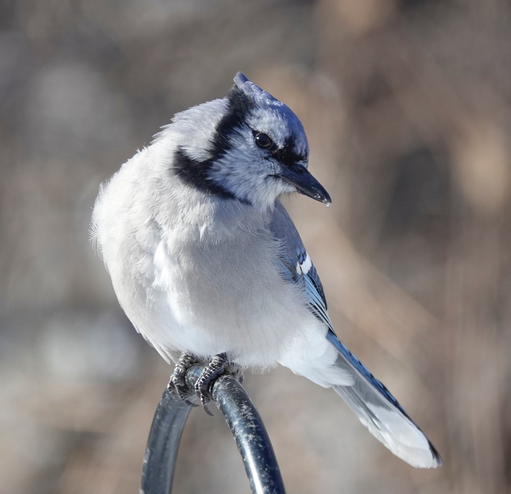 Bewitching and bombastic — it's the blue jay way. - Al Batt/Albert Lea Tribune