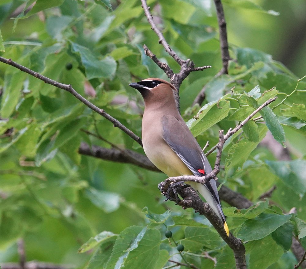 The cedar waxwing could have knocked me over with a feather.