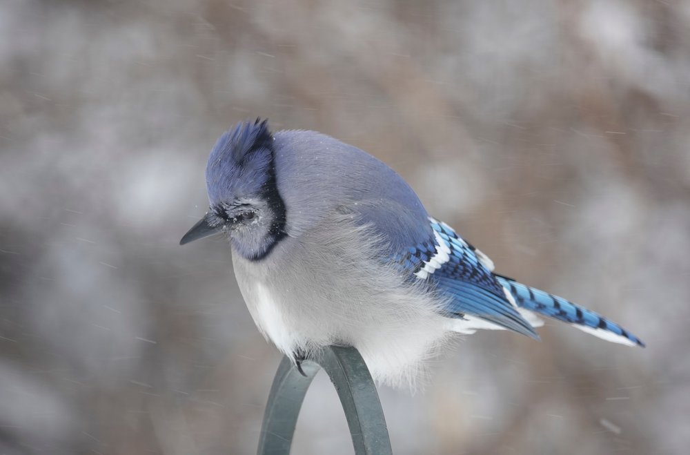 Curiosity paid off when this blue jay spotted two identical snowflakes.