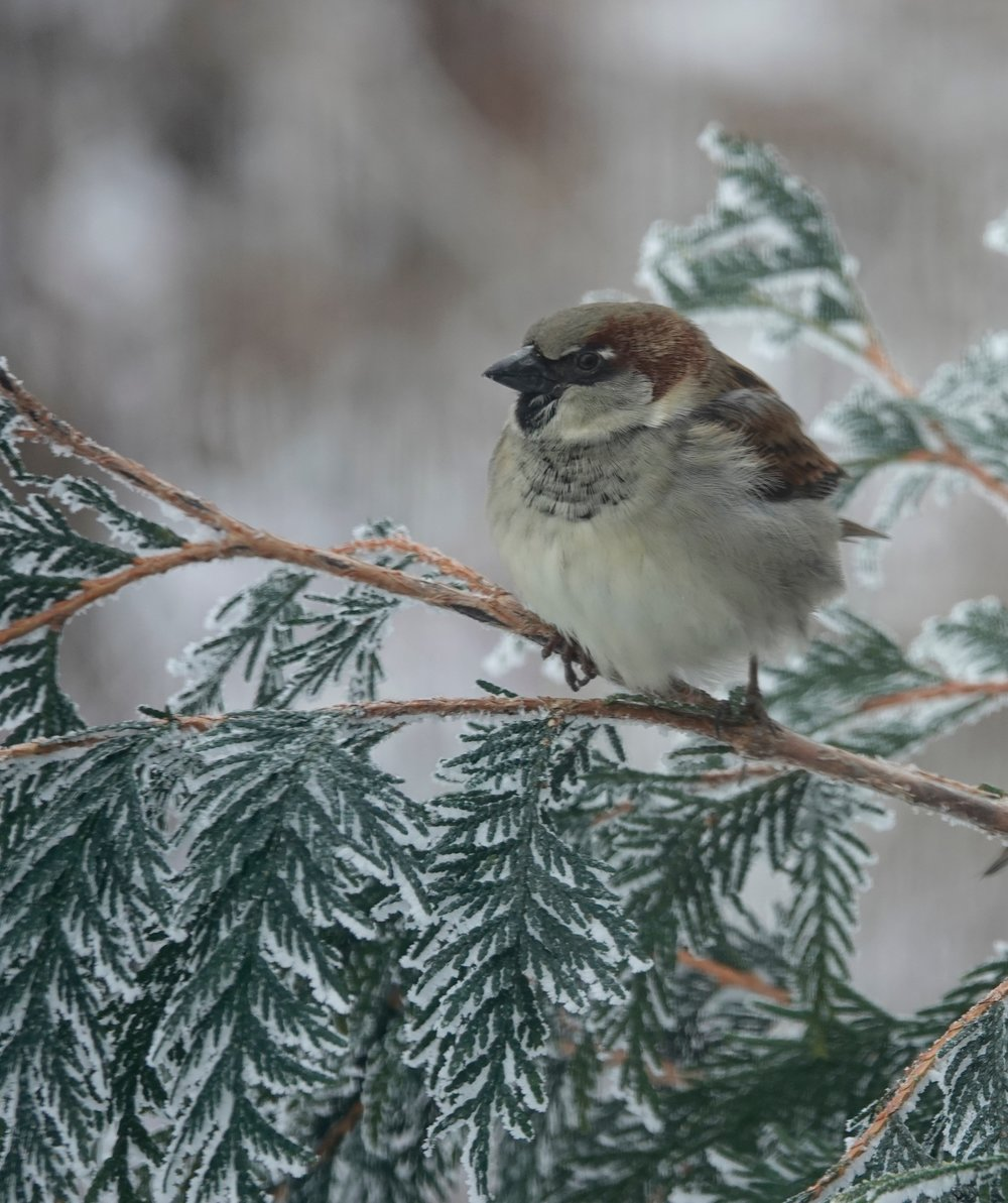 No matter what the weather, the house sparrow chirps cheerfully.