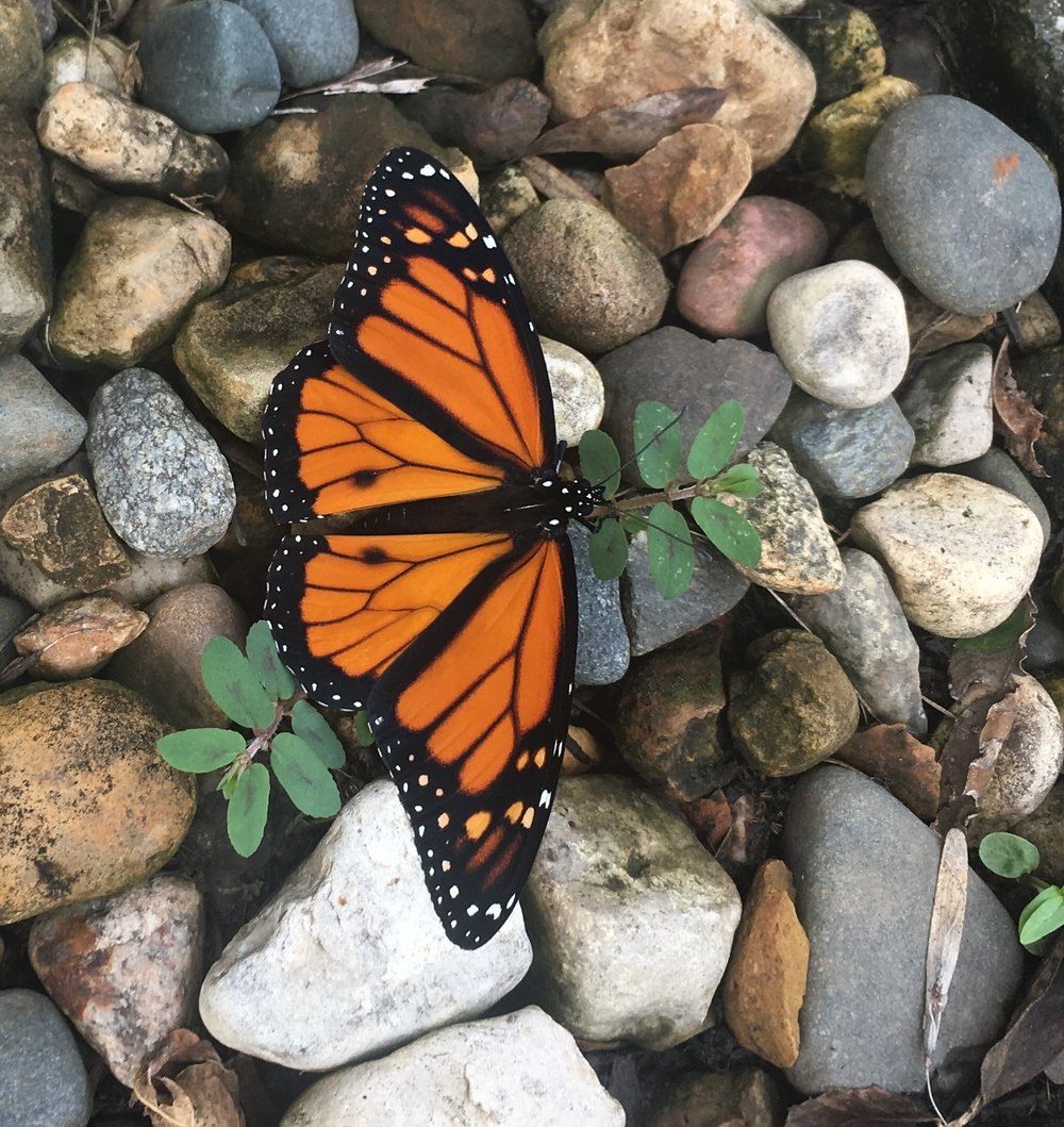 In today's views: this monarch of the milkweeds found himself on the rocks.