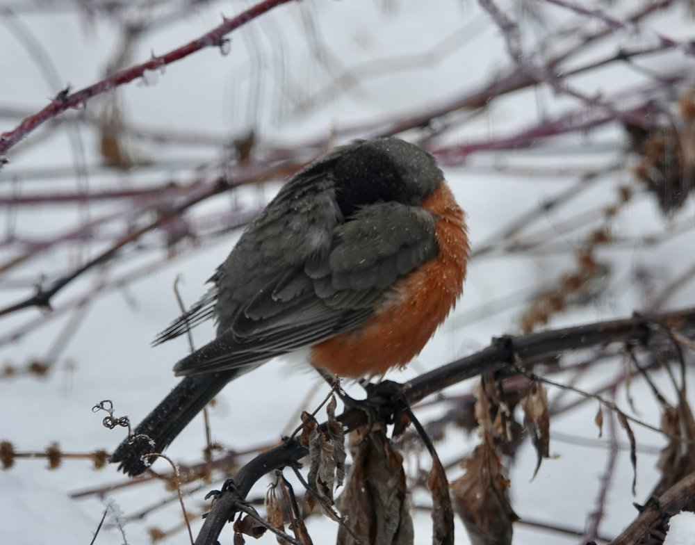 This robin has learned that sometimes a nap helps.