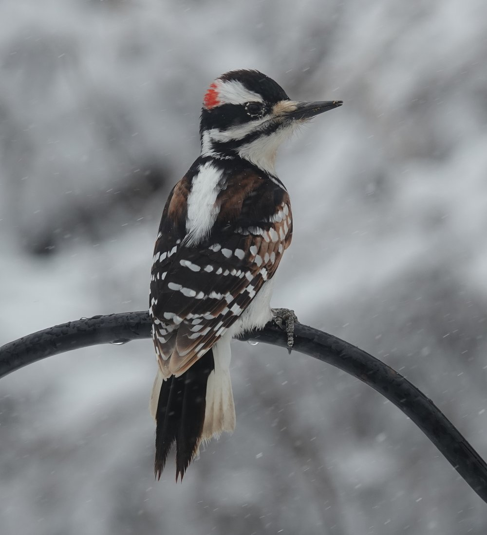 The hairy woodpecker tends to spend more time on tree trunks than the downy, which branches out.
