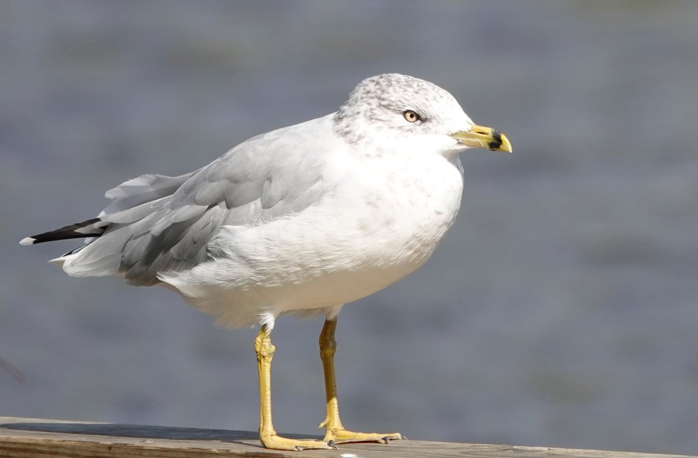 The ring-billed gull never considers itself a pest.