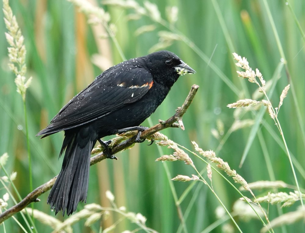 Red-winged blackbirds like a soggy stage.