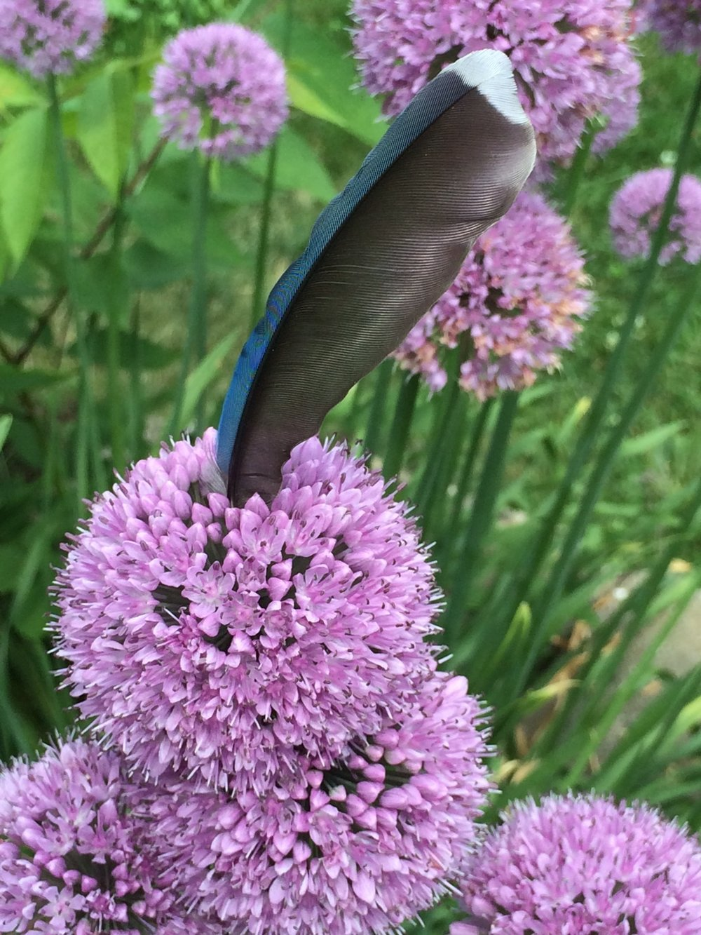 A blooming blue jay feather.