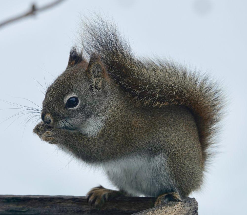 A red squirrel uses a snow umbrella.