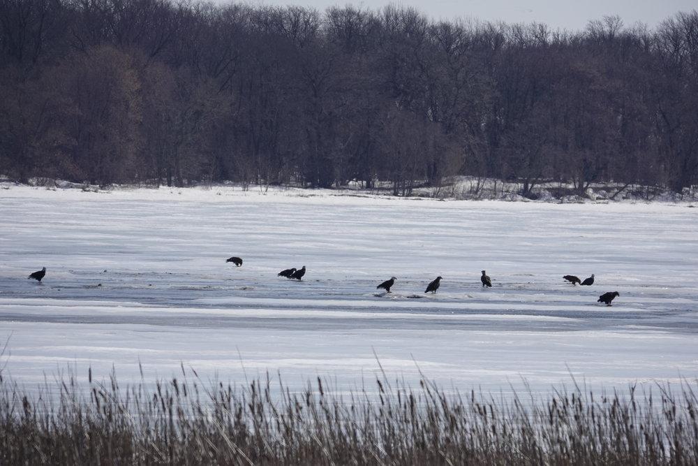 Ice fishing bald eagles on Geneva Lake.