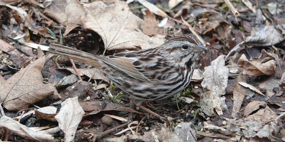 A song sparrow wearing camouflage.