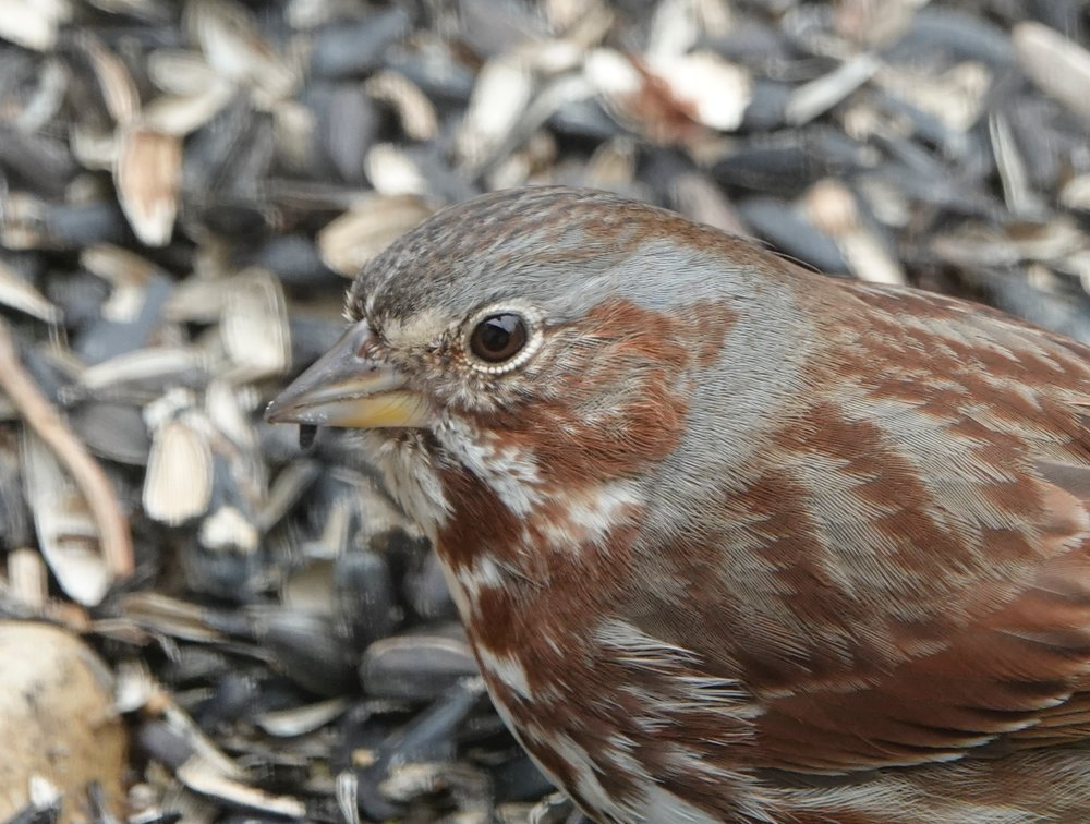 The fox sparrow sees things of which I can only dream.