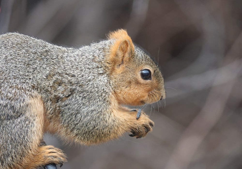 This squirrel did a spit take with sunflower seeds.