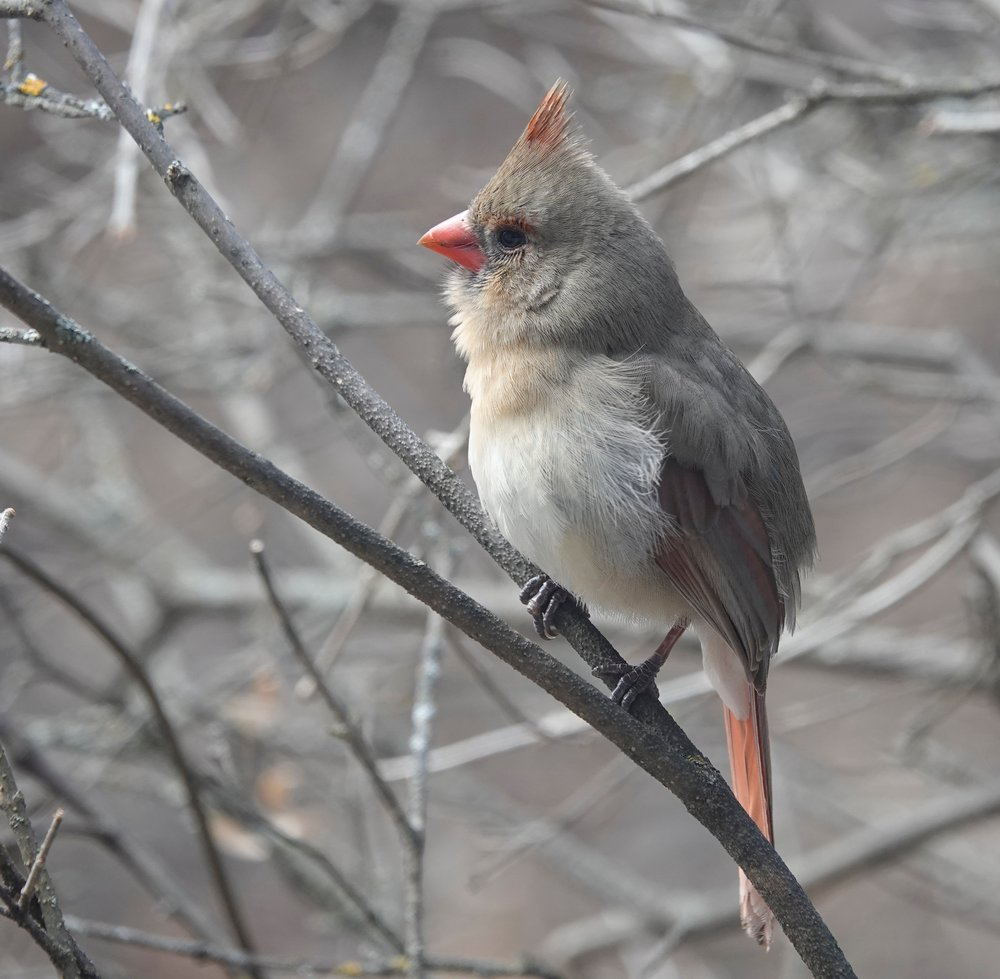 The cardinal is the state bird of seven states: Illinois, Indiana, Kentucky, North Carolina, Ohio, Virginia and West Virginia. Even so, this female seems very nice.
