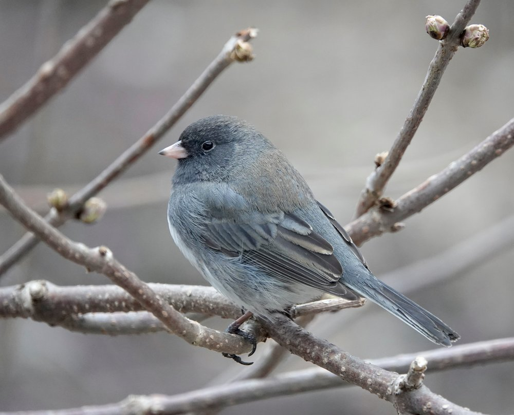 """Anne Murray sang """"Snowbird."""" It was a hit, but was she singing of a junco or a snow bunting?"""