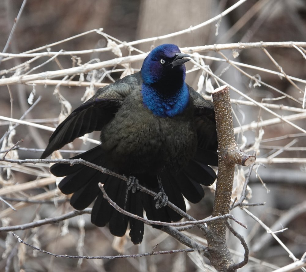 A grackle contemplates daylight saving time.
