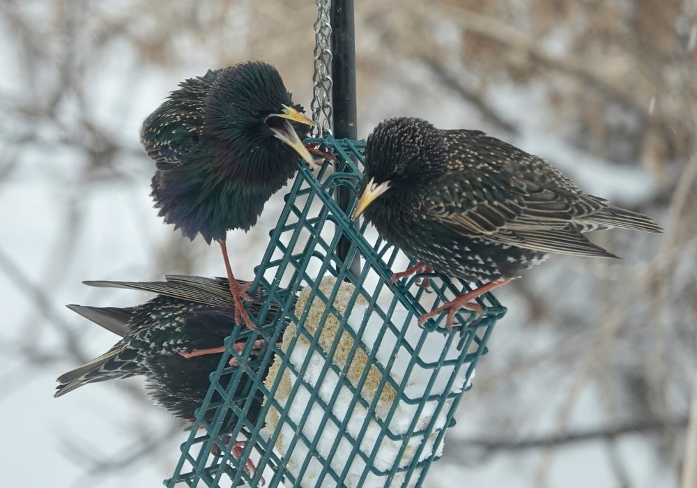 Starlings gossiping at the suet feeder.