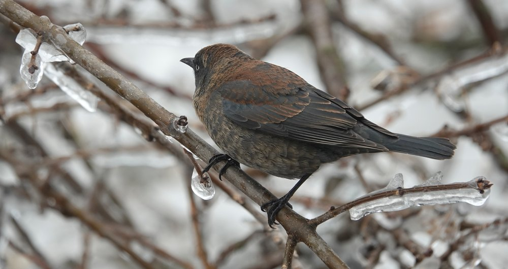 """Bye Bye Blackbird"" becomes a sad song as the population of the rusty blackbird declines."