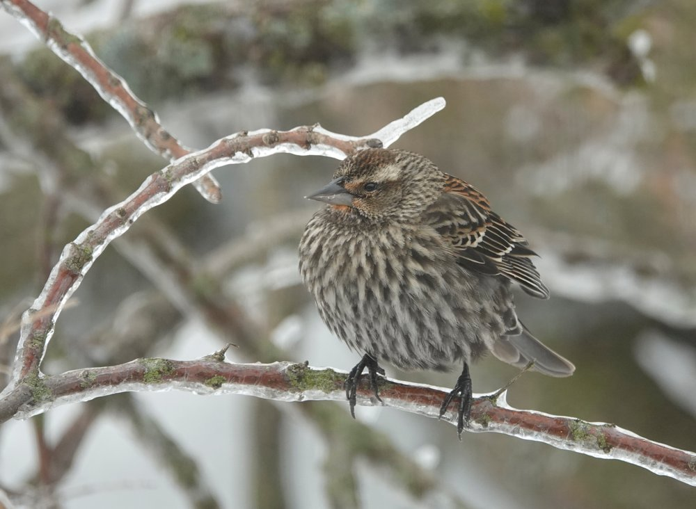 This female red-winged blackbird has never watched The Weather Channel. It is a weather channel.