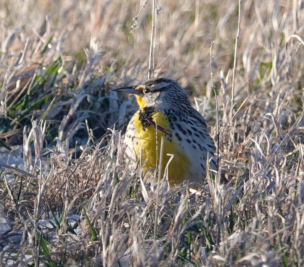 The western meadowlark's whistles and warbles must dodge grass in order to be heard.