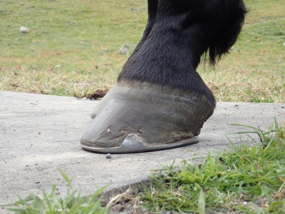"46 ° Initial Hoof Angle 3.75"" Toe Length"