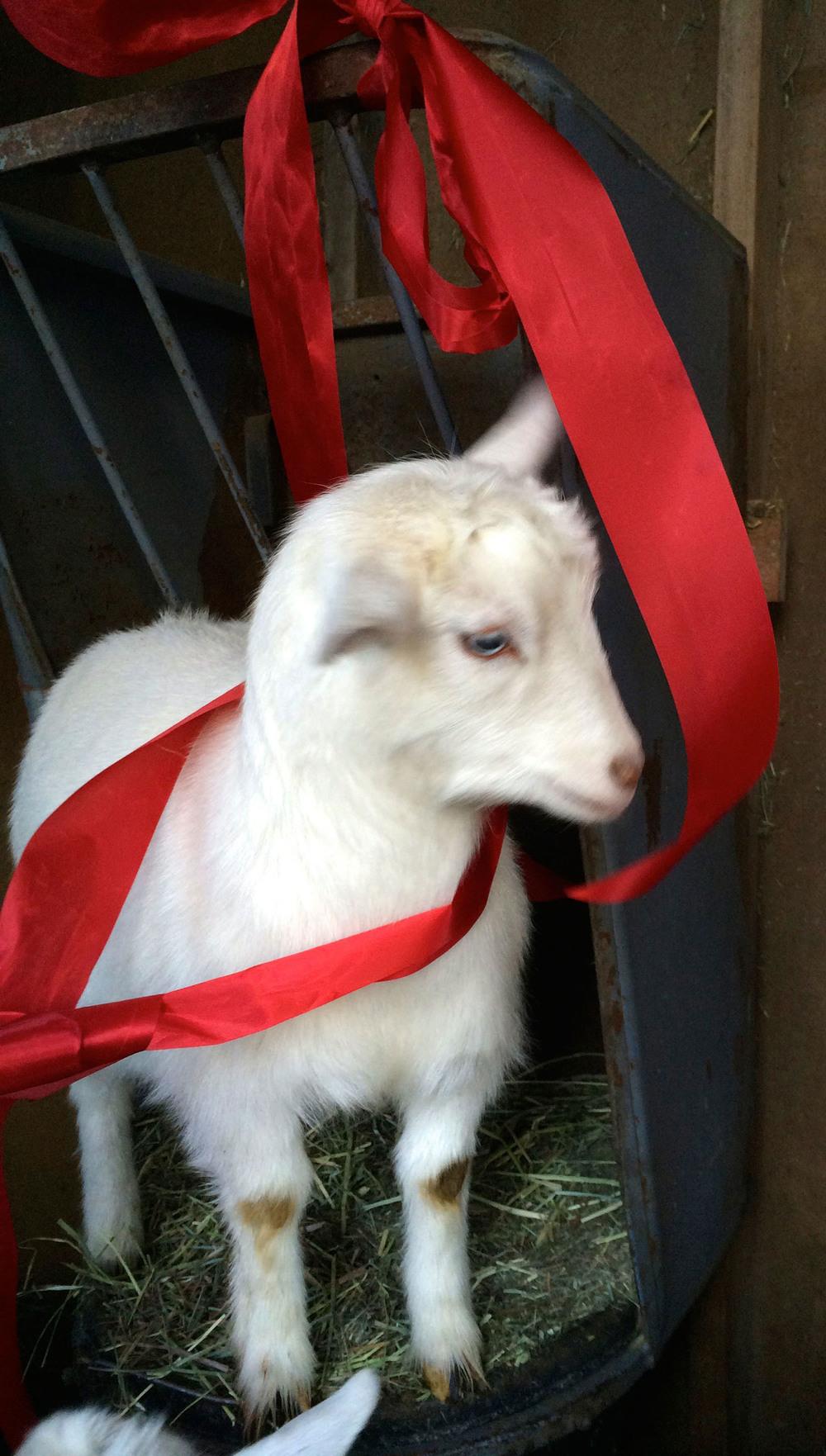 goat-ribbon-lyons-farmette.jpg