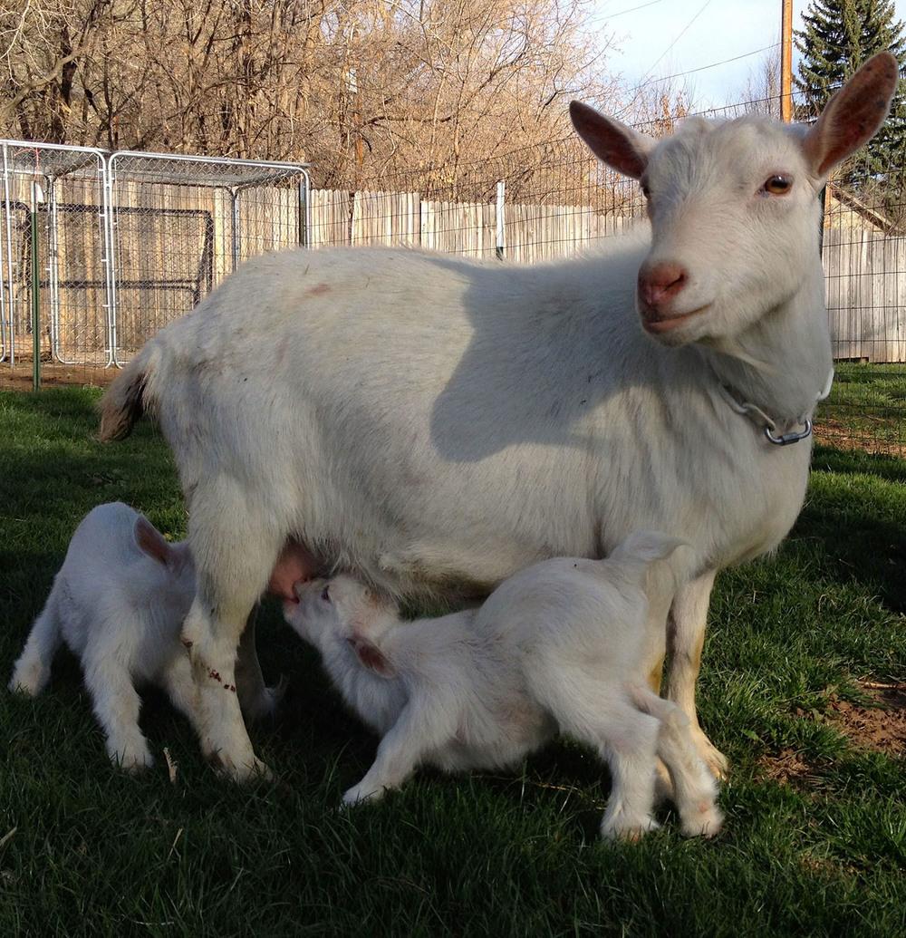 nigerian-goat-babies-lyons-farmette.jpg