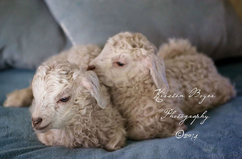 goats-in-bed-lyons-farmette.jpg