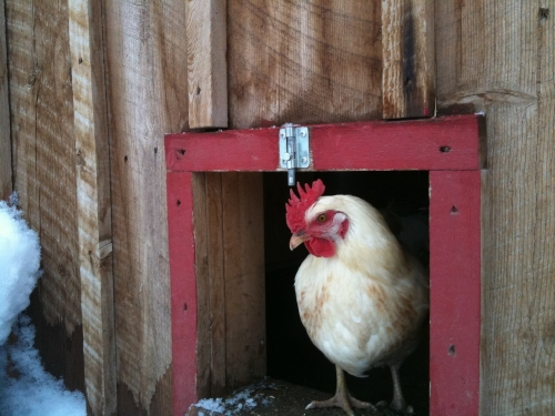 What Is Better Than Having Your Own Back Yard Flock And Getting Fresh Eggs  Every Day? (Well, OK, There Are Actually A Few Things, But Chickens Are  Still ...