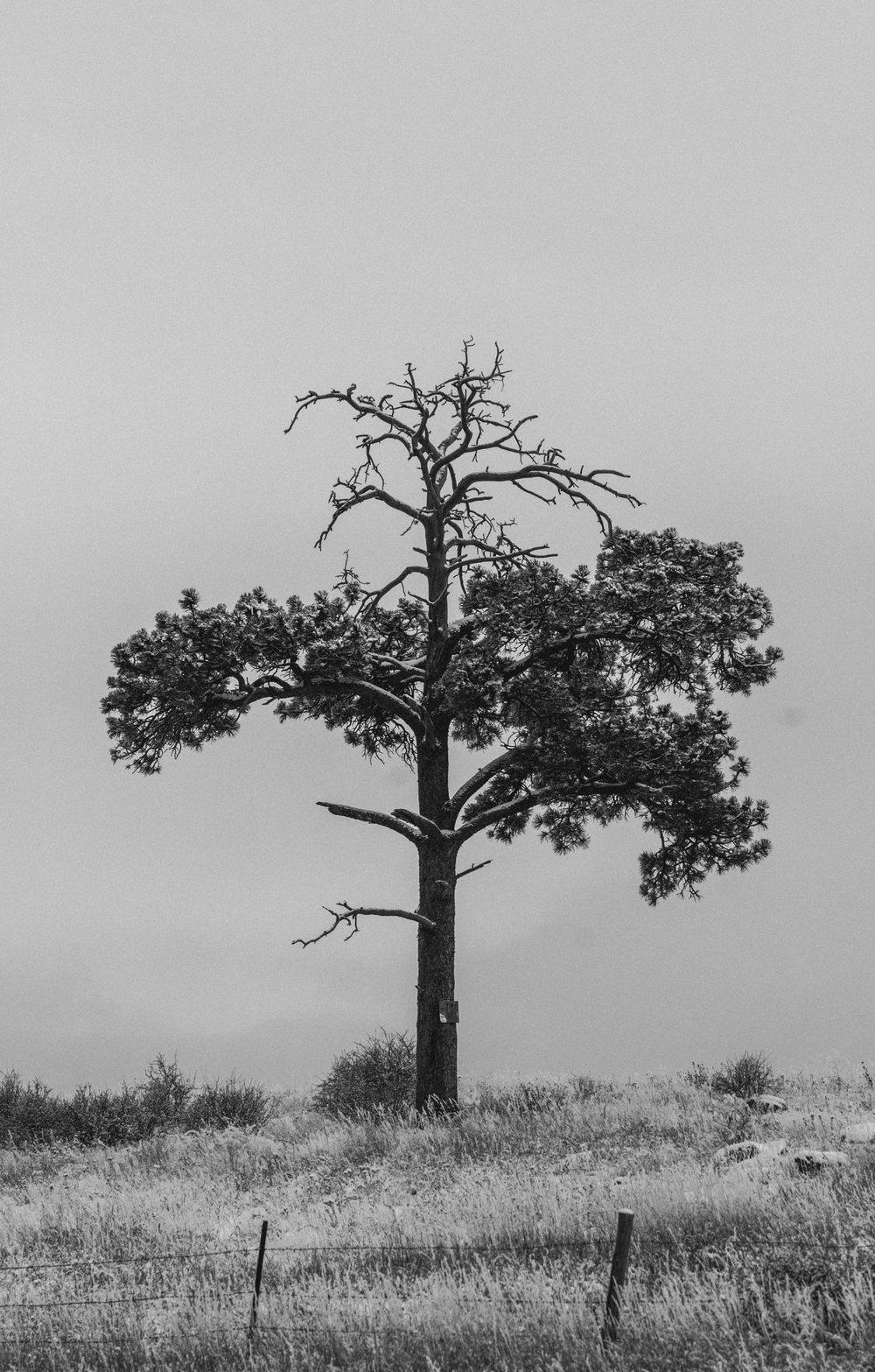 Lone Tree-2.jpg