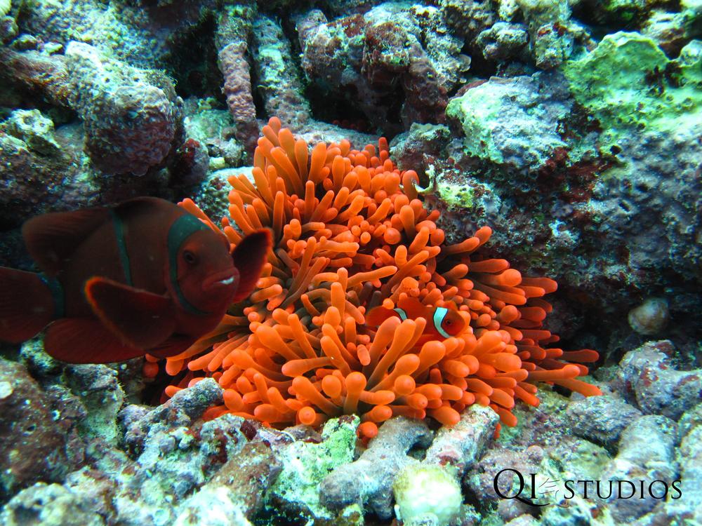 clownfish&anenome.jpg