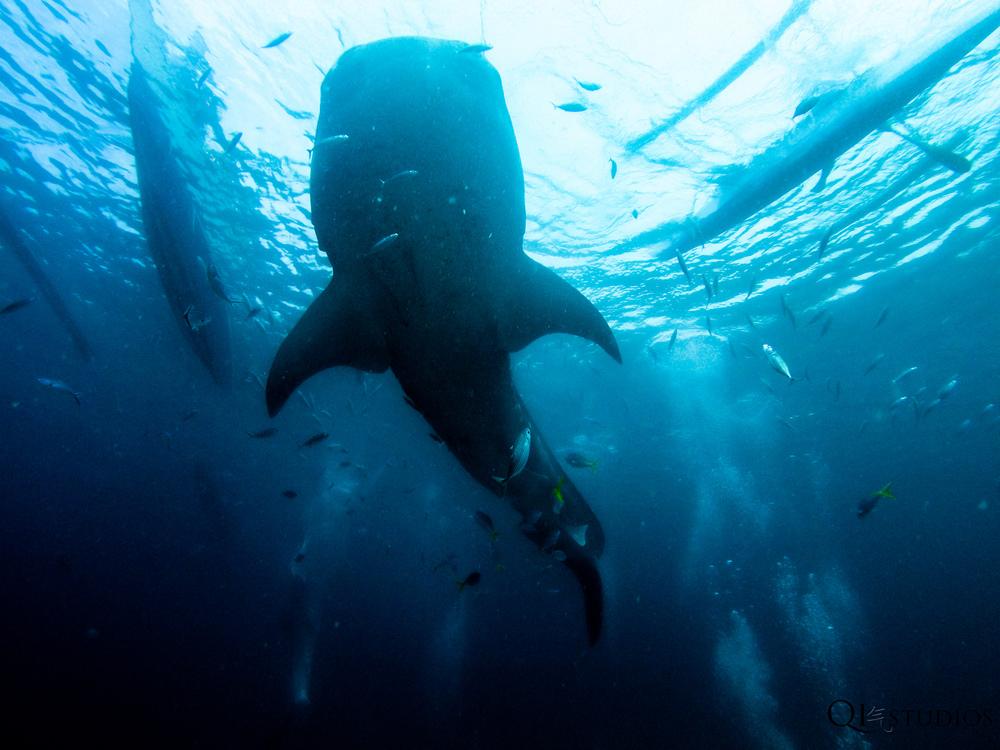 whaleshark oslob-4.jpg