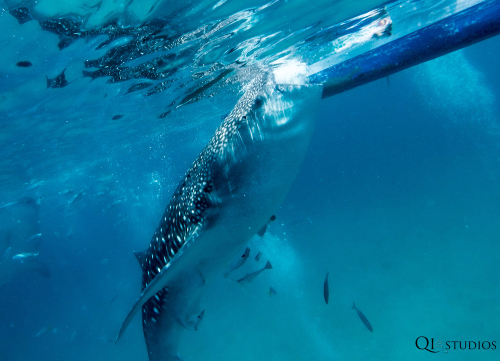 whaleshark oslob-3.jpg