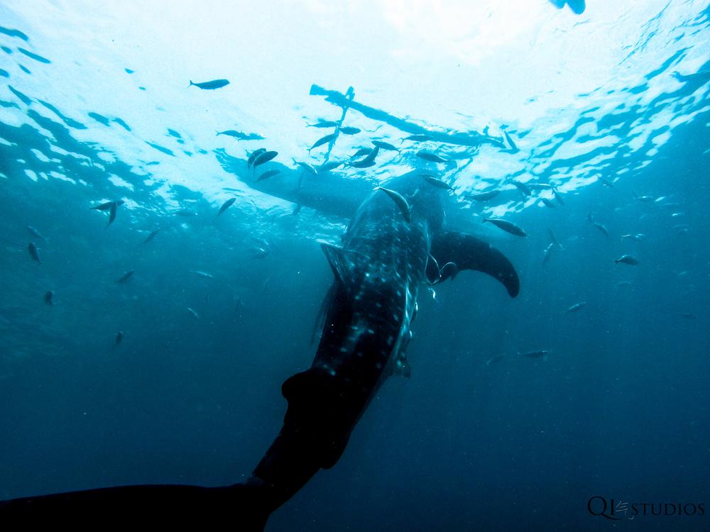 whaleshark oslob-5.jpg